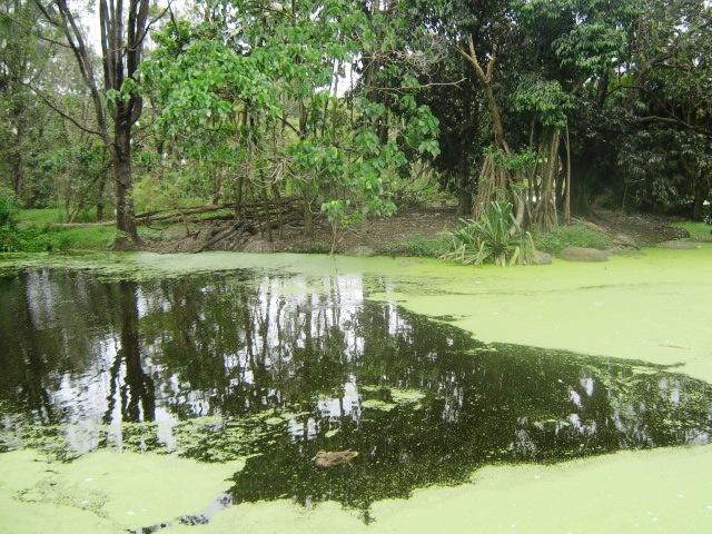 Goose ponds in Bundaberg