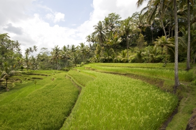 Rice Terraces And Palm Trees In Bali