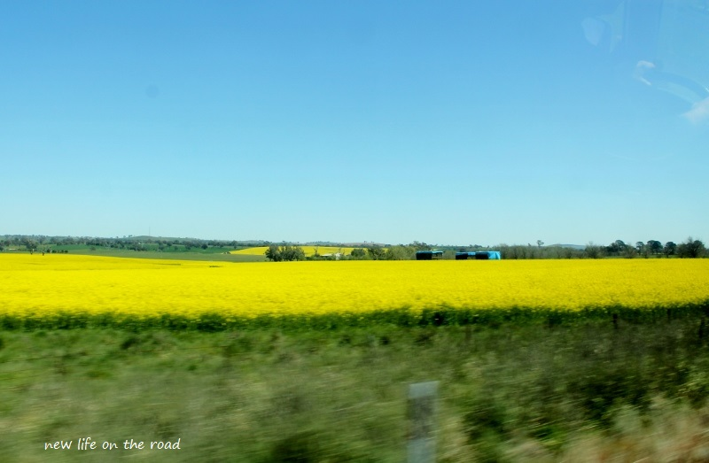 Canola Flower Field