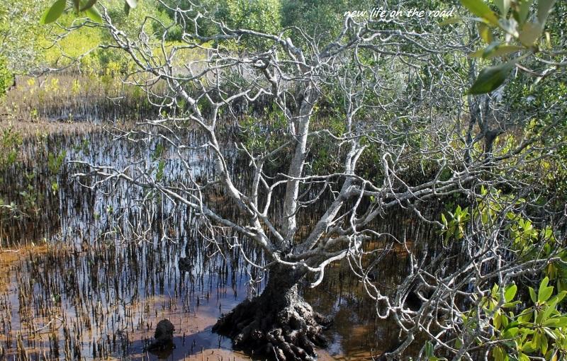 Milky Mangroves