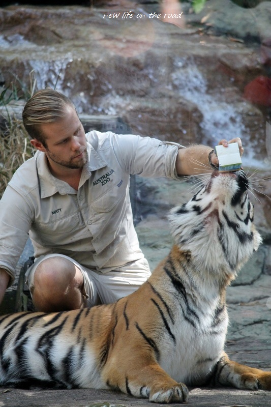 Training the Tigers with feeding milk