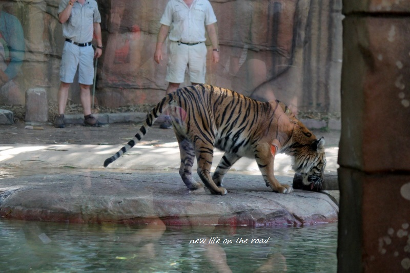 Training the Tigers