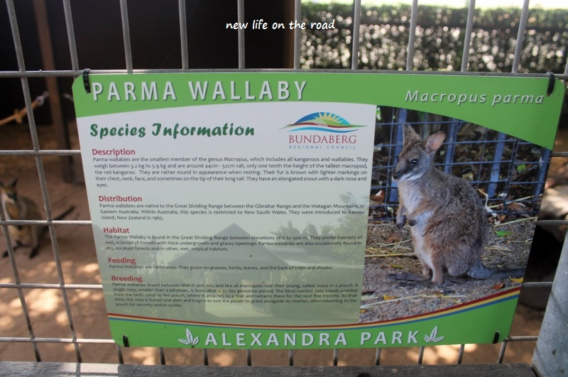 All about the Parma Wallaby