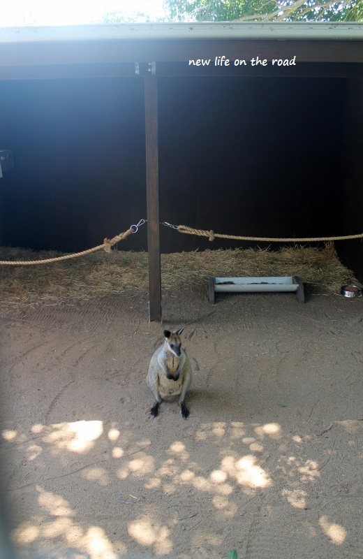 Wallaby at Bundaberg Zoo