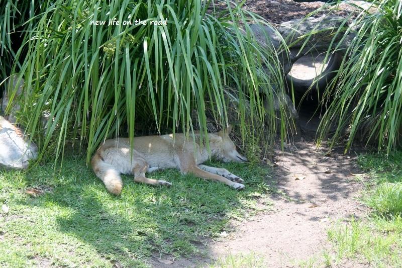 Dingo hiding in the shade