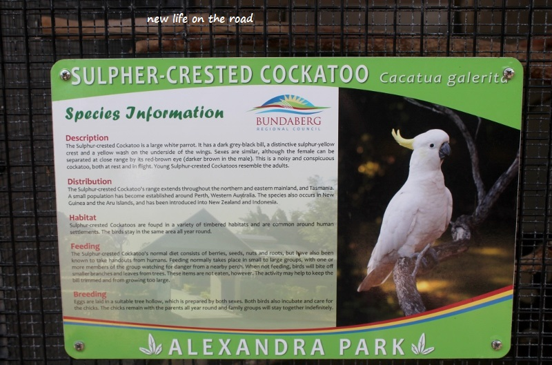 Crested Cockatoo Information