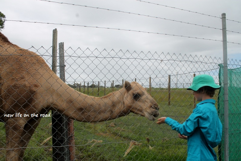 Feeding the camel