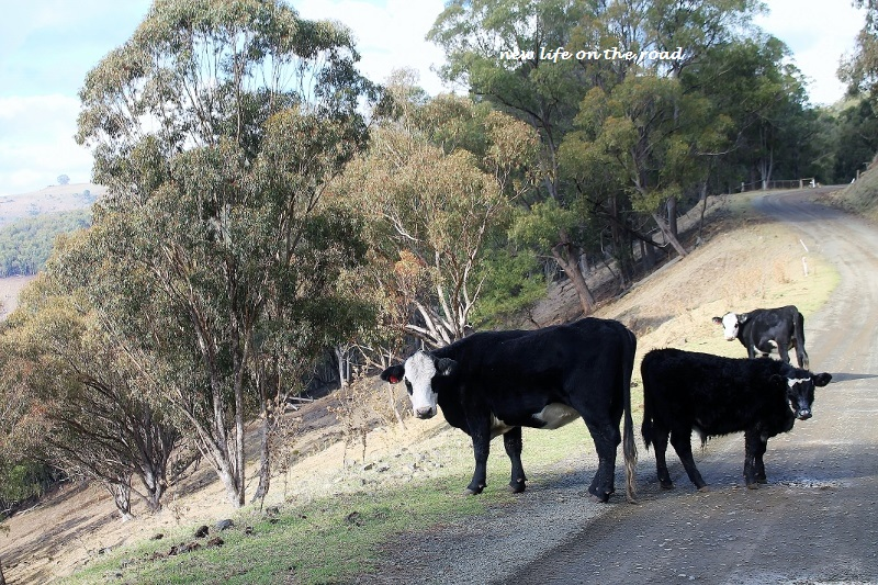 Cattle at Barrington Tops