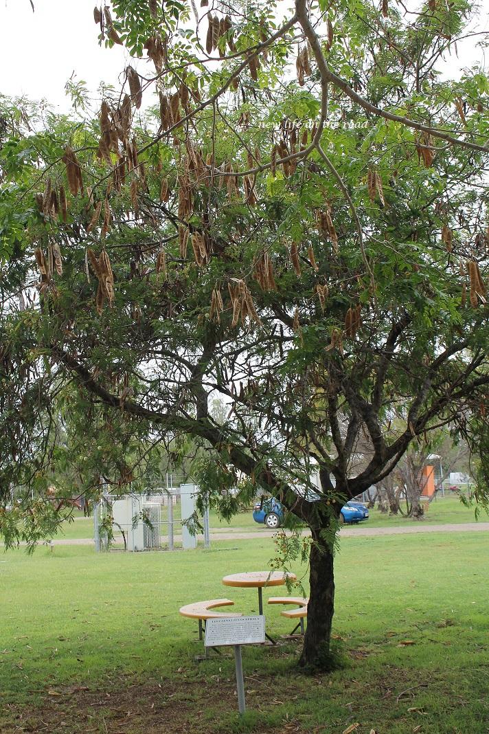 Tree in Bioela